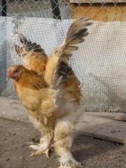Инкубационное яйцо кур породы Брама жёлтый чёрно
