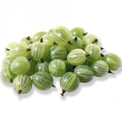 Gooseberry saplings, sale wholesale, delivery