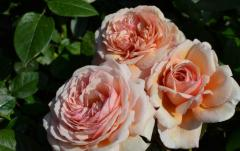 Розы , Э Шропшир Лэд,  A Sropshire Lad