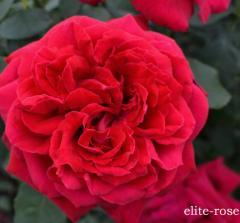 Роза Alain Souchon