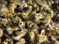 Подмор бджіл, Бджолиний подмор