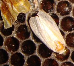 Wax moth, tinctures of a wax moth, larva of a wax