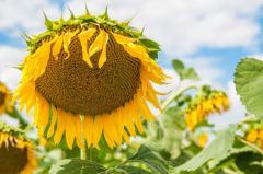 Семена подсолнечника гибрид Солнечное настроение