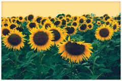 Hybrid seeds of sunflower Favourite