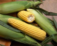 Corn seeds Grade Elegy of MV