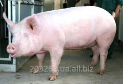 Свинина живой вес