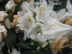 Azalea of Rhododendron Azalea Chunningems White of