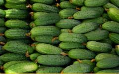 Cucumbers hothouse wholesale