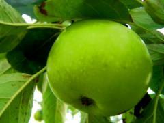 """саженцы яблони """"гранни смит"""""""