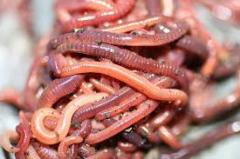 Worms the red Californian to buy worms for
