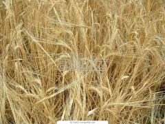 Seeds of barley summer Patrician