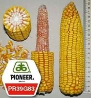 Seeds of PR39D81/PR39D81 of corn
