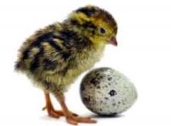 Eggs hatching
