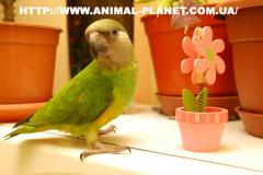 Manual Senegalese parrots are on sale