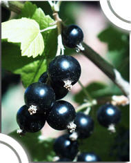 The clarified blackcurrant concentrate
