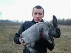 Rabbits of breed Silvery.