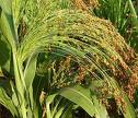 Sorghum, sale wholesale, expor