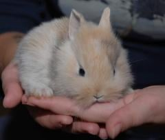 Manual domestic rabbit - tender and lovely being