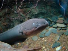 Eel for sushi