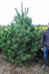 The pine black Austrian (pinus nigra Austriaca) of