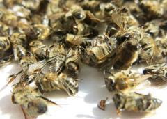 Бджолиний подмор