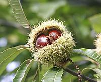 Saplings of a chestnut of edible (Castanea sativa)