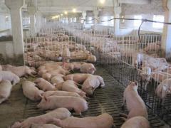 Мясомолочные животные   Свиньи породы ёркшир,