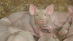 Мясомолочные животные   Свиньи мясных пород