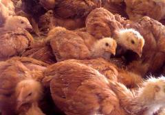 Цыплята подрощенные Испанка, цыплята Испанка