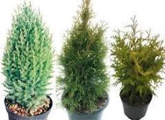 Черенки хвойных растений
