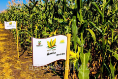 Corn hybrid seeds monsanto dks 3511