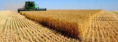 Wheat fodder