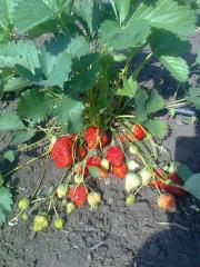 Grade strawberry saplings Queen Elizabeth
