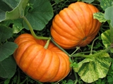 Pumpkin seeds Ruzh Vif de Tamp