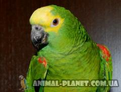 Available very bright iodarenny Amazona of
