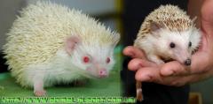 On sale manual African dwarfish hedgehogs
