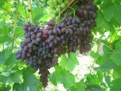 Черенки винограда в Кременчуге