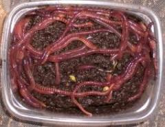 The worm red Californian to wholesale a worm for