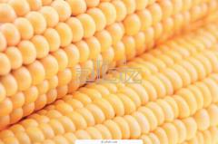 Corn grain