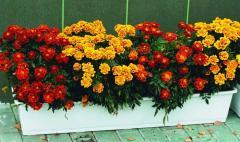 Seeds eutherophytes Marigold