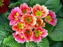 Primrose (Primula) seeds