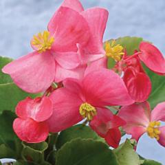 Begonia ever flowering (terry) (Begonia