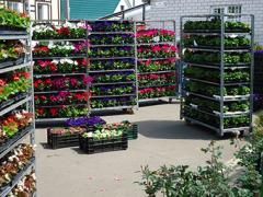 Укорененные черенки цветов для рабаток и балконов