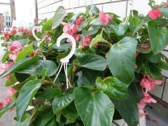 Begonia dragon