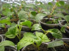 Черенки Фуксии (Fuchsia)
