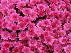 Shanks of the Chrysanthemum (Chrysanthemen) sale