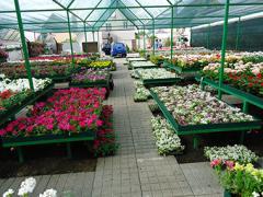 Цветы для высадки в Киевской области