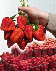 Пропонуємо купити саджанці полуниці Альбіон.