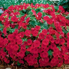 Саженцы петунии  Surfinia Compact Dark Red