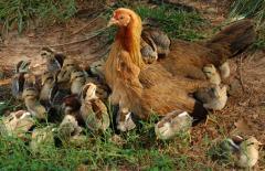 Молодняк кур, цыплята породы Космос